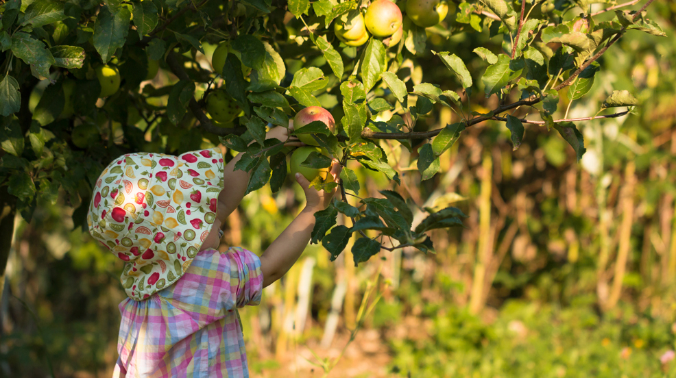 cute girl in sunhat picking fresh apples from the tree in organi